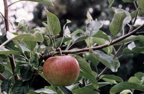 Apple Orchard | Montgomery, MN | Montgomery Orchard | 952-221-1051