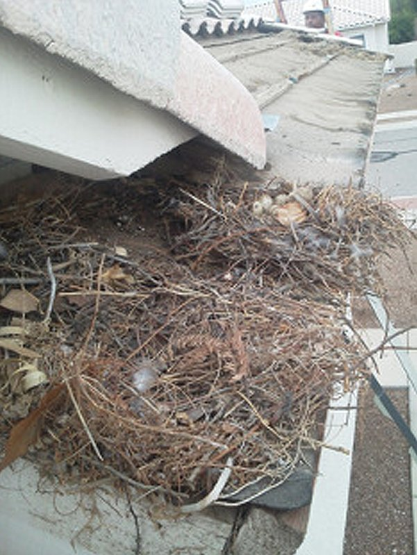 Nest with eggs and debris on top of roof