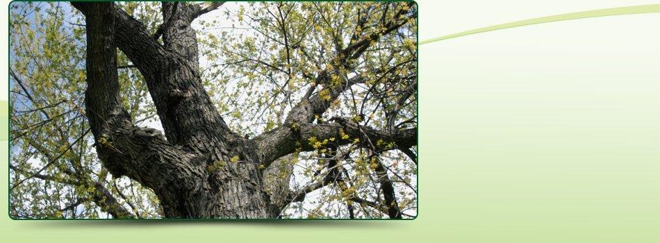 Tree Shaping | Big Bear , CA | AAA Tree Service | 909-584-8645