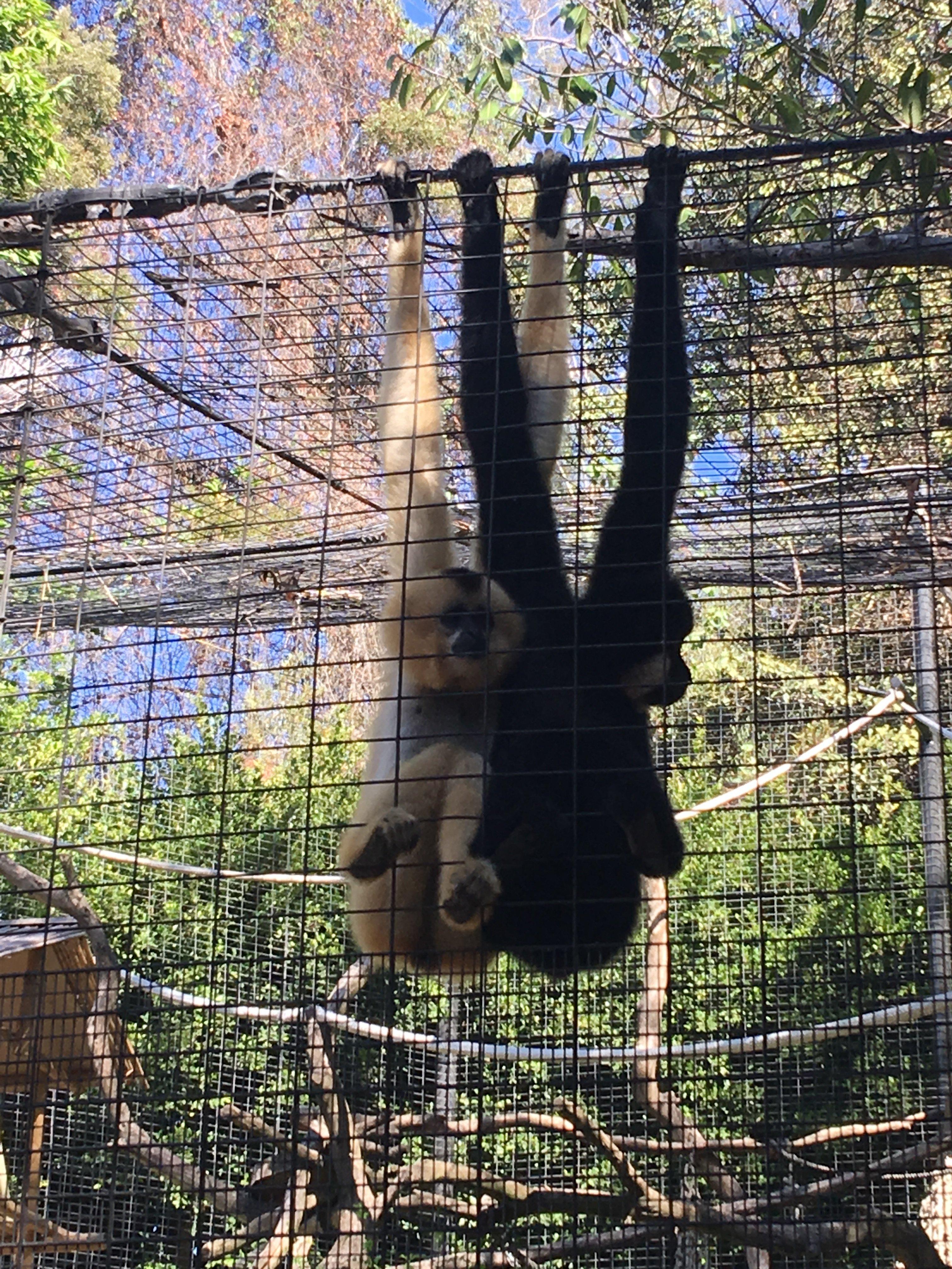 Monkey, monkeys, San diego zoo