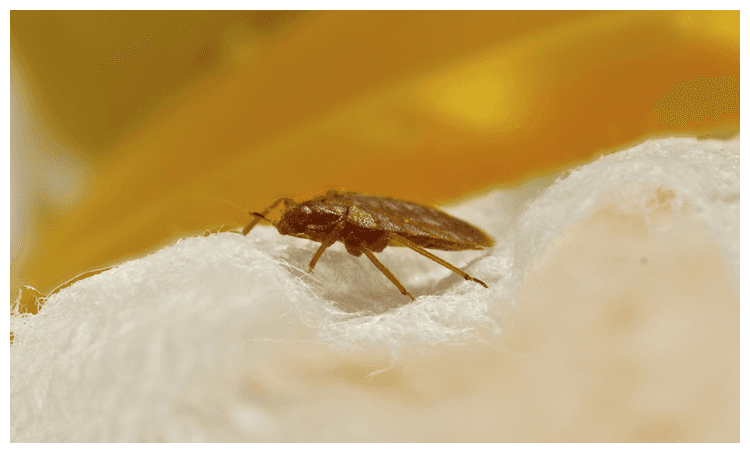 Bedbug Control Services