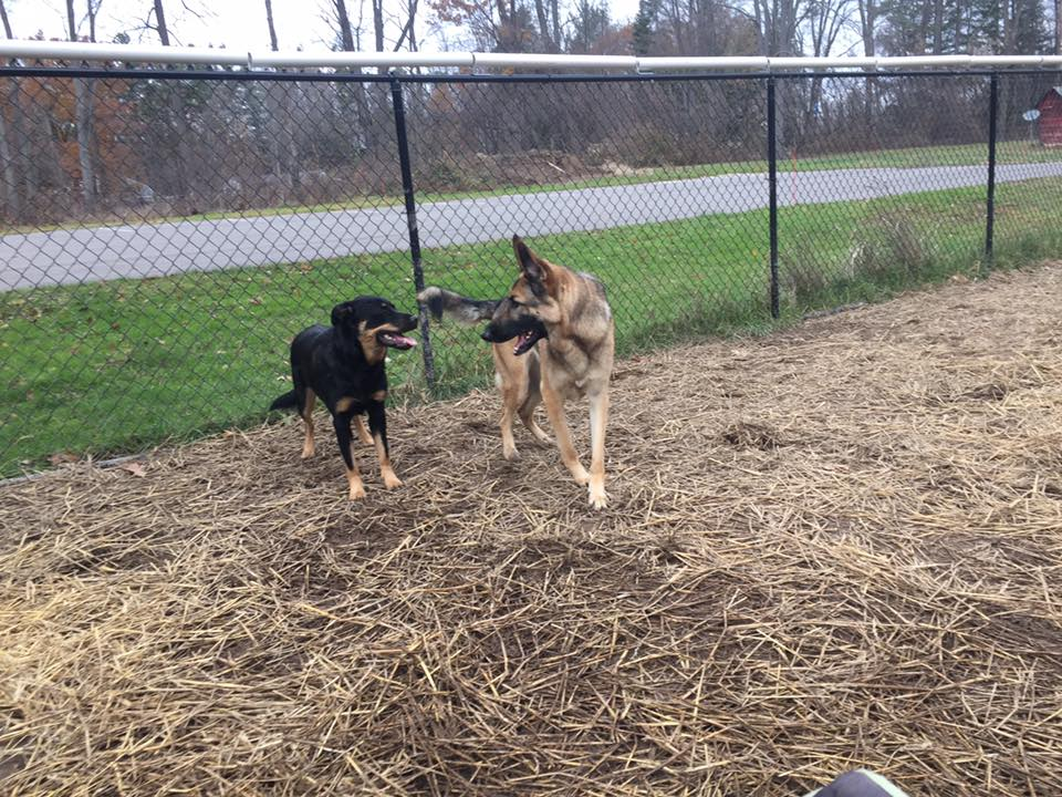dogs playing at the boarding