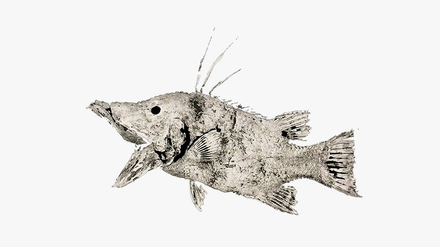Hog fish without background