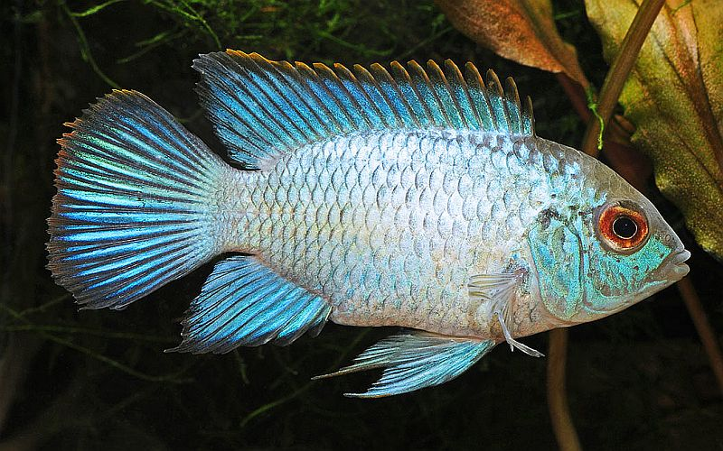 Freshwater fish livebearers st cloud mn for Freshwater fish representative species