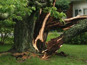 Hazardous tree