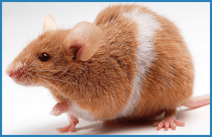 Mice and rats | Oklahoma City, OK | Best Exterminators | 405-272-0451