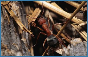 Ants | Oklahoma City, OK | Best Exterminators | 405-272-0451