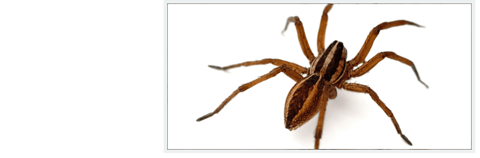 Wolf spiders | Oklahoma City, OK | Best Exterminators | 405-272-0451