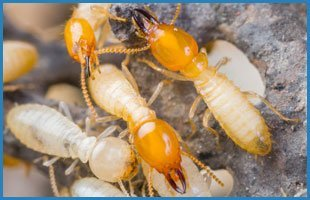 Termites | Oklahoma City, OK | Best Exterminators | 405-272-0451