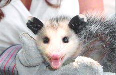 Possum Captured Humanely