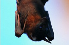 Bat hanged upside down