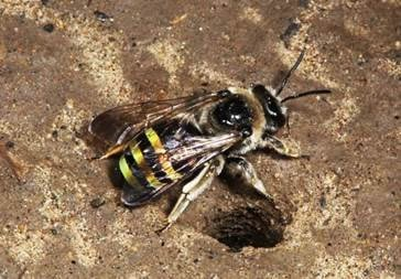 Solitary bee on ground