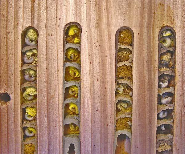 Inside solitary bee holes