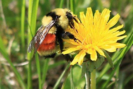 Orange banded bumble bee