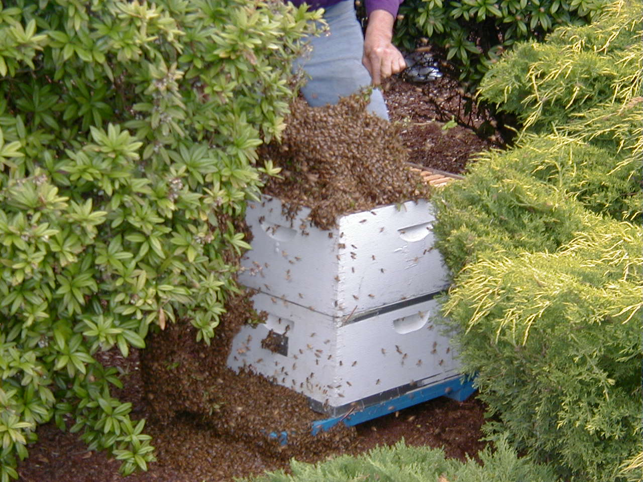 Helping the bees into the box