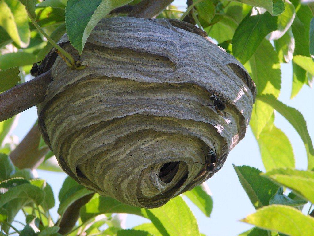 Bald faced hornets nest