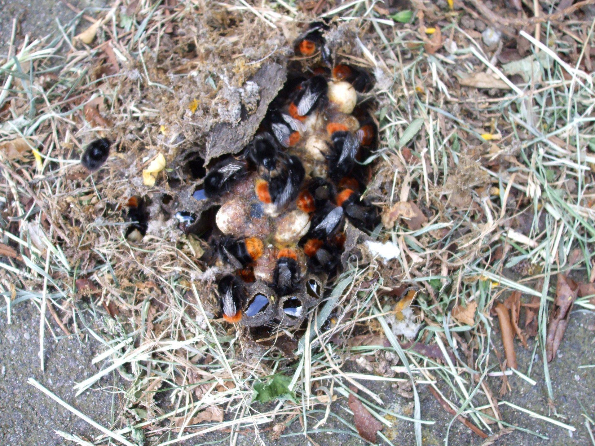 Orange banded bumble bee nest