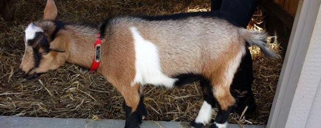 Superior goat, deer, llama feed