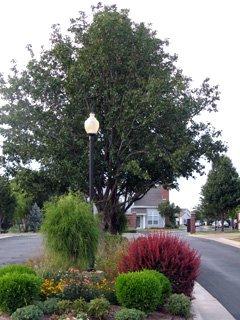 Shrubs and Tree