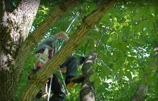 Tree Trimming  | Urbana, IL | All Tree Steve's | 217-530-2816