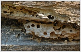 Termites inside the wood