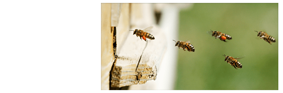 Bees going back to bee hive