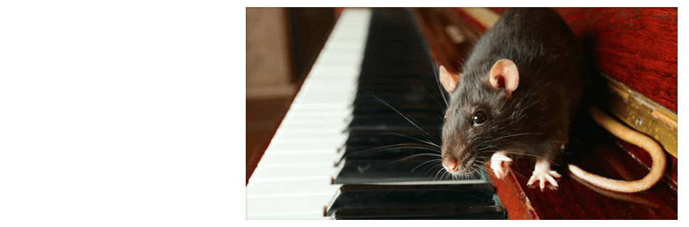 Rat on the piano