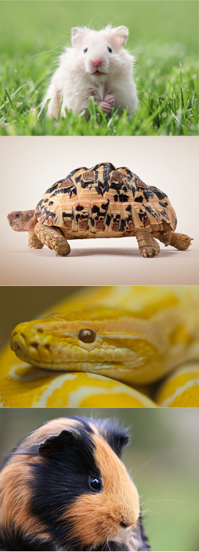 Tortise,Hamsters,Pythons,Guinea pigs