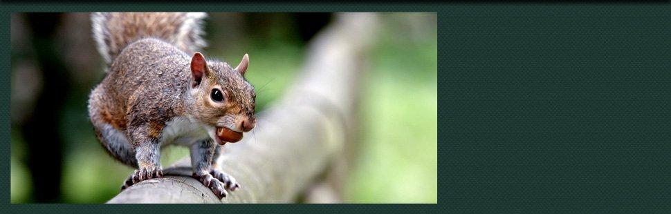 Squirrel at the backyard