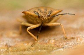Bedbug pest