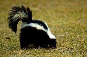 Skunk at backyard