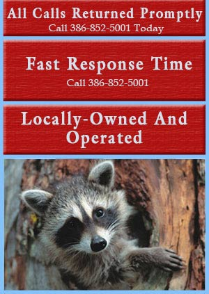 Raccoon Removal - Daytona Beach, FL - Animal Control Services, Inc.
