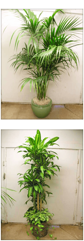 Rented Plants | Haleiwa, HI | Alluvion, Inc. | 808-637-8835