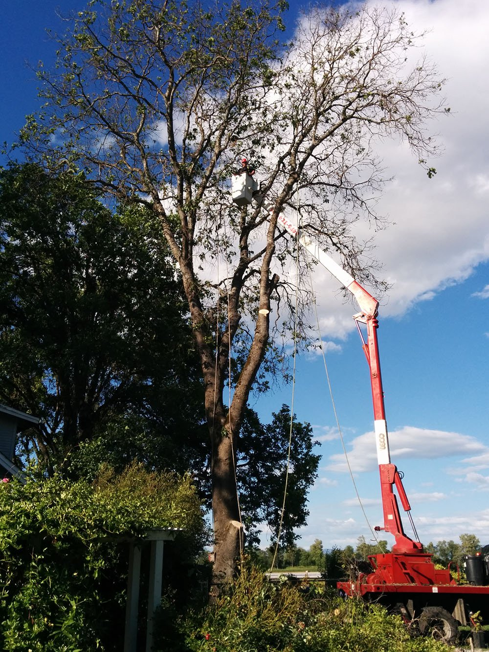 large oak removal