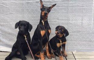 dog personal protection | Wilkes Barre, PA | K-9 Korner Inc | 570-829-8142